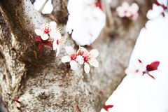 Cherry tree branch bud blossom background as beautiful spring flower blooming season concept Royalty Free Stock Photography