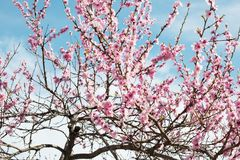 Cherry tree branch bud blossom background as beautiful spring flower blooming season concept Royalty Free Stock Photos