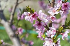 Cherry tree branch bud blossom background as beautiful spring flower blooming season concept. Blooming plum tree. Pink buds closeu royalty free stock photography