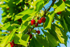 Cherry Tree. Branch with cherries and leaves Royalty Free Stock Image