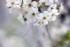 Cherry tree branch  with copyspace Stock Photos