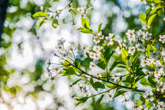 Cherry tree branch with flowers Stock Photo