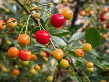 Cherry tree branch. fresh ripe cherries in garden. Stock Photos