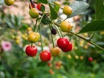 Cherry tree branch. fresh ripe cherries. Sweet cherries Stock Image