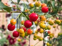 Cherry tree branch. fresh ripe cherries. Sweet cherries Stock Photography