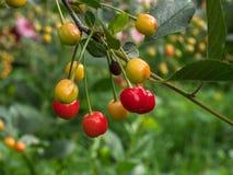 Cherry tree branch. fresh ripe cherries. Sweet cherries Royalty Free Stock Photo