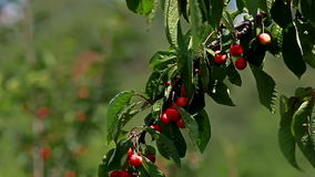 Cherry tree. Branch with fruits swinging in the wind stock video