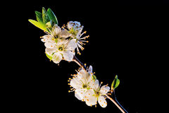 Cherry-tree branch isolated on black Stock Image
