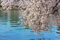 Cherry tree branch is leaning over the water of Tidal Basin in Washington DC, USA. Stock Images