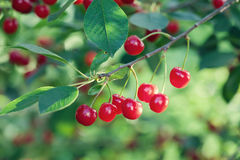 Cherry tree branch macro view. Red berry fruit plant green leaves, summer time garden background. Seleactive focus Royalty Free Stock Images