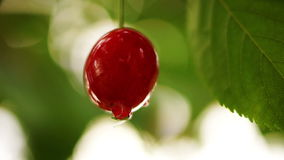 Cherry Tree Branch One Piece Fruit With Water Drop And Midge, Isolated. Cherry Tree Branch. Fruit With Water Drops stock footage