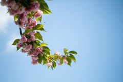 Cherry tree branch Stock Photography