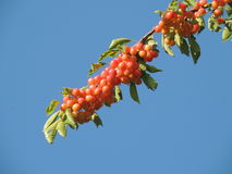 Cherry tree branch Royalty Free Stock Photography