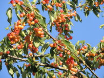 Cherry tree branch Stock Images