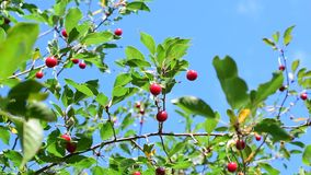 Cherry tree branch with red berries. Vibrant cherry tree branch with amazing red berries swaying on breeze on blue sky background stock video