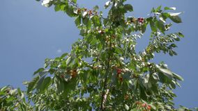 Cherry tree branch with ripe fruits and berries in the wind - close-up of delicious cherry fruit, camera movement up the tree, cli. Ripe fruit of cherry tree on stock video footage