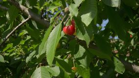 Cherry tree branch with ripe fruits and berries in the wind - close-up of delicious cherry fruit, the tree, cli. Ripe fruit of cherry tree on a branch close-up stock video footage