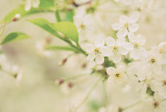 Cherry tree branch in spring Stock Photo