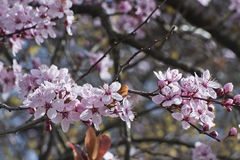 Cherry tree branch in springtime on blurred background Stock Photography