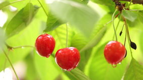Cherry Tree Branch Three Piece Fruit With Water Drops. Cherry Tree Branch. Fruit With Water Drops stock video footage