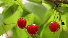 Cherry Tree Branch Three Piece Fruit With Water Drops In Wind. Cherry Tree Branch. Fruit With Water Drops stock video