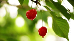 Cherry Tree Branch Two Piece Fruit With Water Drops, Changing Focus stock footage