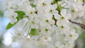 Cherry tree branch with white flowers stock video footage