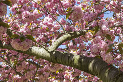 Cherry Tree Branch y flores Fotografía de archivo
