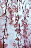 Cherry tree branches in bloom. Vintage soft post processing Royalty Free Stock Photo