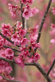 Cherry Tree Branches and Blooms. The angle of the main branch shows off the cherry blossoms in front and behind before the blooms drop and the leaves sprout Royalty Free Stock Photos