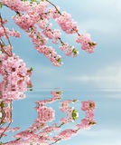 Cherry tree branches and blue sky, reflecting in water Stock Images