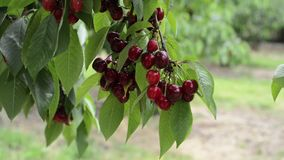 Cherry tree branches with cherries stock video footage