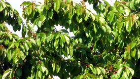 Cherry Tree Branches And Leaves Moving In The Sun. Cherry Tree Branches stock video