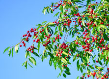 Cherry tree branches Royalty Free Stock Images