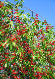 Cherry tree branches Royalty Free Stock Photos