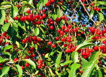 Cherry tree branches Royalty Free Stock Photo