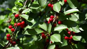 Cherry tree branches with ripening cherry. In wind stock video footage