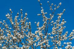 Cherry tree branches with white flowers in spring Royalty Free Stock Photos