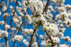 Cherry tree branches with white flowers in spring Stock Photos