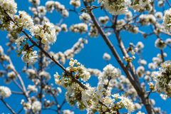 Cherry tree branches with white flowers in spring Royalty Free Stock Photo