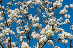 Cherry tree branches with white flowers in spring Stock Photo