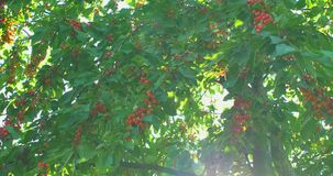 Cherry tree branches in the wind. Many Red ripe berries. Cherry tree branches in the wind. Many Red ripe berries stock video