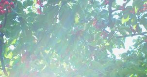 Cherry tree branches in the wind. Many Red ripe berries. Cherry tree branches in the wind. Many Red ripe berries stock video footage