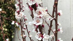 Cherry tree buds flower close up white brown branch stock footage