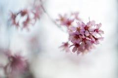 Cherry tree buds Stock Photo