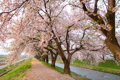 Cherry tree and causeway Royalty Free Stock Image
