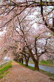 Cherry tree and causeway Royalty Free Stock Photos