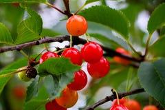 Cherry tree and cherry fuirt Stock Photos