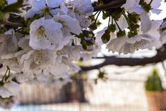 Cherry tree close up. A detailed image of the cherry tree flowers in spring royalty free stock photography