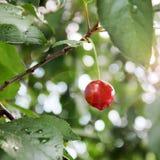 Cherry on the tree close up stock photo